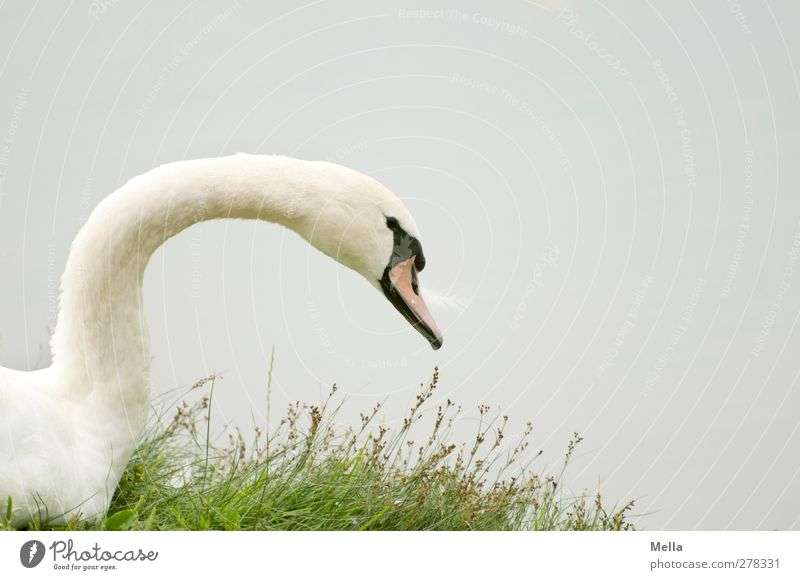 white-greyish green Environment Nature Animal Water Grass Lakeside Pond Bird Swan 1 Looking Esthetic Natural Gray White Calm Colour photo Exterior shot Deserted