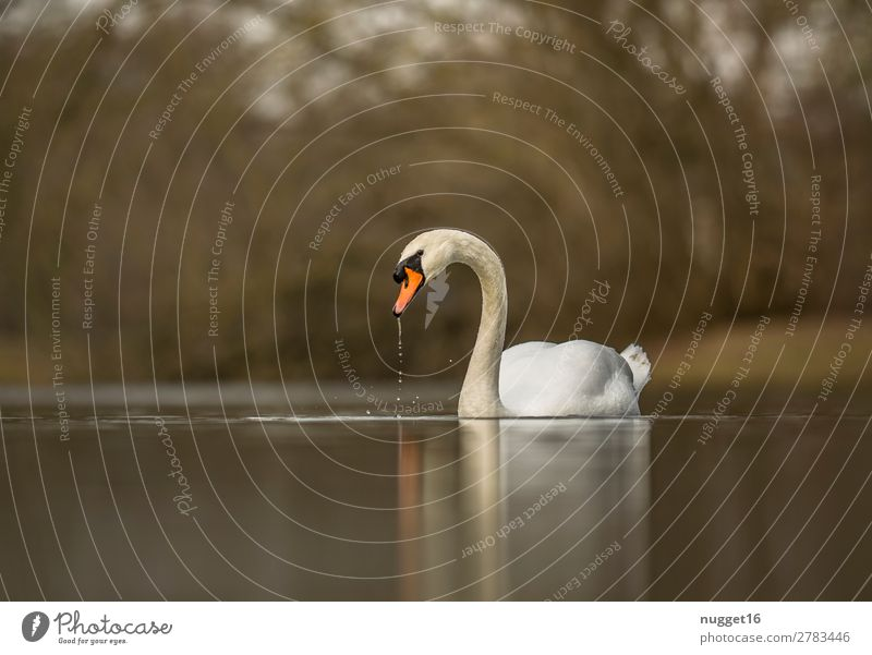 Mute Swan 1 Environment Nature Landscape Plant Animal Water Spring Summer Autumn Beautiful weather Bushes Garden Park Coast Lakeside River Wild animal Wing Zoo