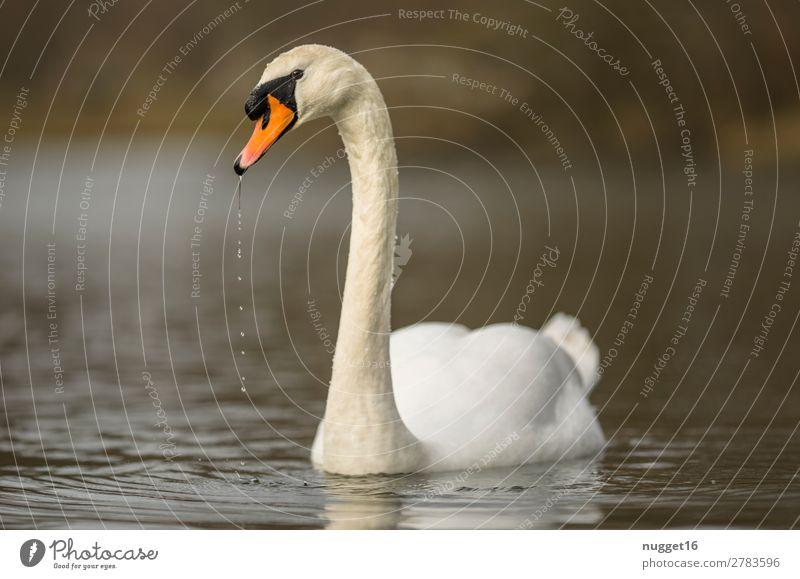 Mute Swan 2 Environment Nature Landscape Animal Water Spring Summer Autumn Climate Beautiful weather Garden Park Coast Lakeside River bank Wild animal