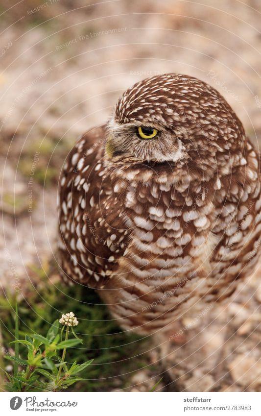 Adult Burrowing owl Athene cunicularia Animal Wild animal Bird 1 Brown Owl Bird of prey raptor Marco Island Florida bright eyes yellow eyes Neon yellow Feather