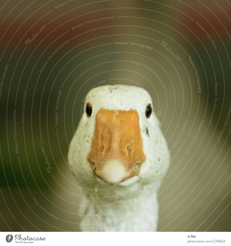 Look at me Animal Pet Animal face Goose Observe Smiling Friendliness Happiness Natural Curiosity Beautiful Yellow Green Orange White Sympathy Love of animals