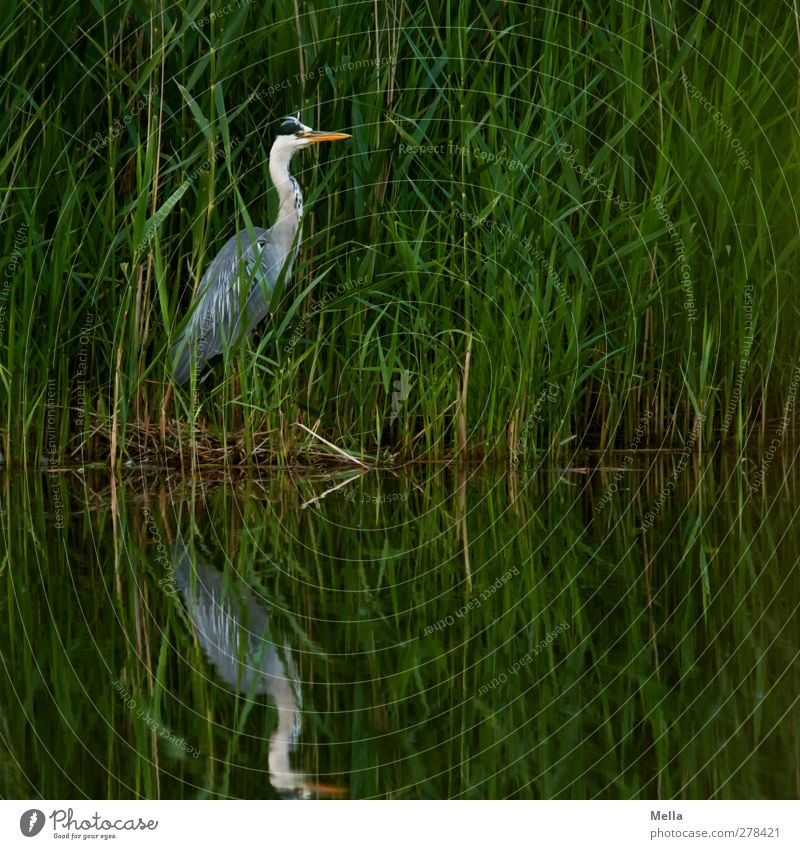 Camouflage: Inadequate Environment Nature Landscape Animal Water Grass Leaf Common Reed Lakeside Pond Wild animal Bird Heron Grey heron 1 Looking Stand Natural