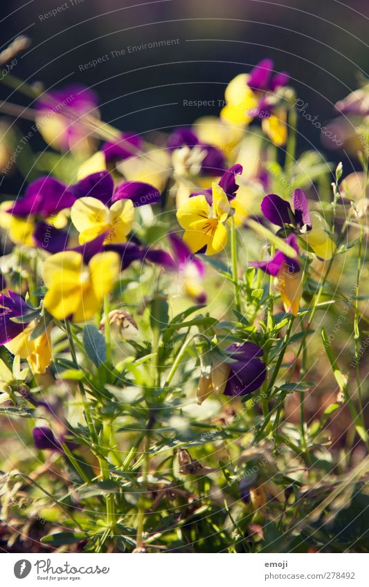 Nature Summer Plant Flower Yellow Environment Spring Natural Pansy