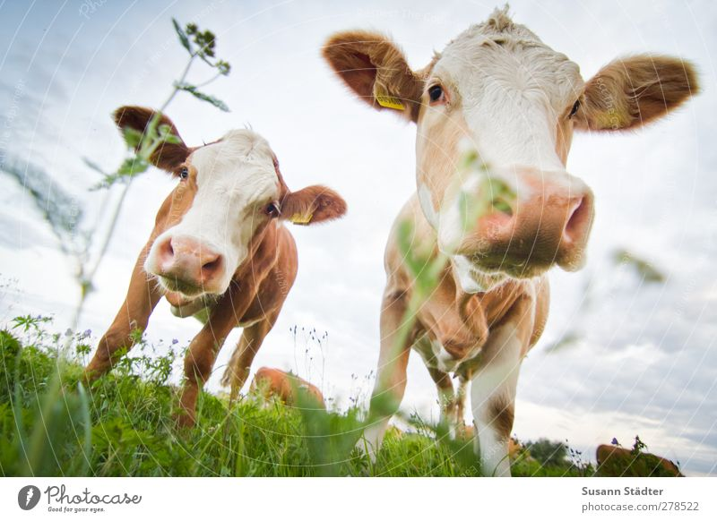 Nature Flower Animal Meadow Field Pair of animals Group of animals Cow Direct Feeding Farm animal Calf Hick town Cowhide