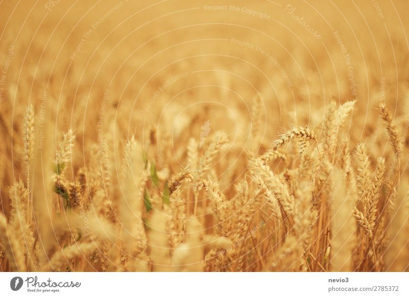 Wheat field in midsummer Landscape Sun Sunlight Summer Beautiful weather Grass Meadow Field Yellow Gold Wheatfield Wheat ear Wheat grain Crops Agricultural crop