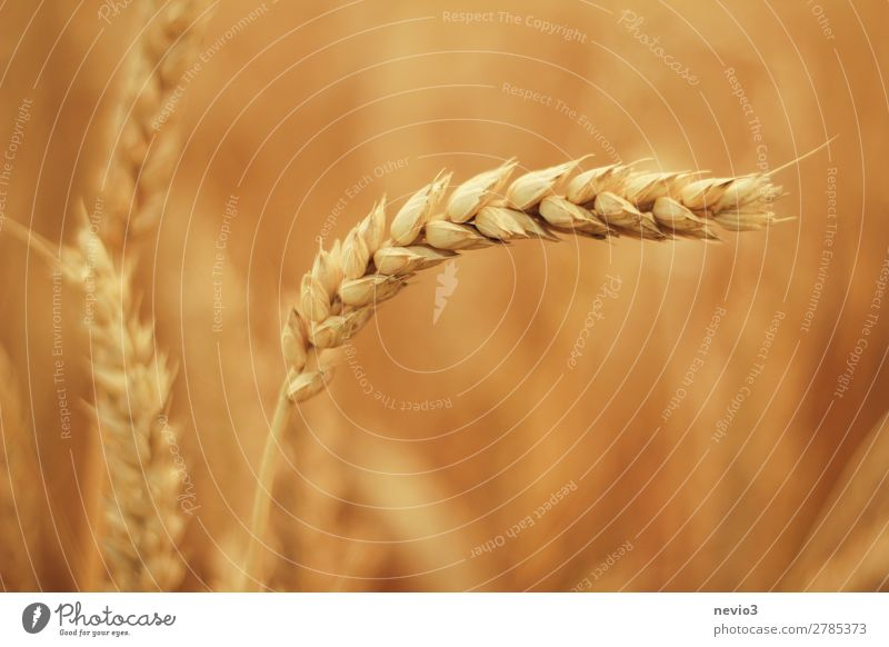 Got the spike Environment Nature Landscape Beautiful weather Plant Grass Agricultural crop Meadow Field Yellow Gold Spring fever Wheat Wheatfield Wheat ear