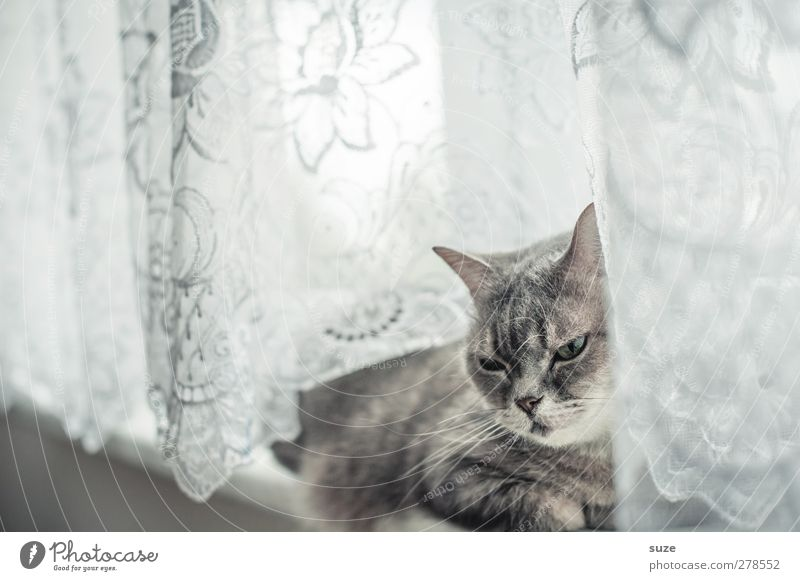 Very long while Relaxation Animal Window Pelt Pet Cat 1 Authentic Bright Cute Soft Gray Fatigue Domestic cat Smooth Curtain Window board Boredom Animalistic