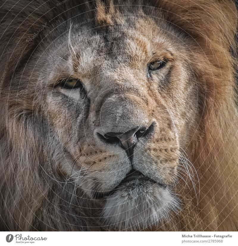 Lion Portrait Nature Animal Sunlight Wild animal Animal face Pelt Lion's mane Eyes Muzzle Nose Facial hair 1 Observe Glittering Looking Exotic Near Yellow