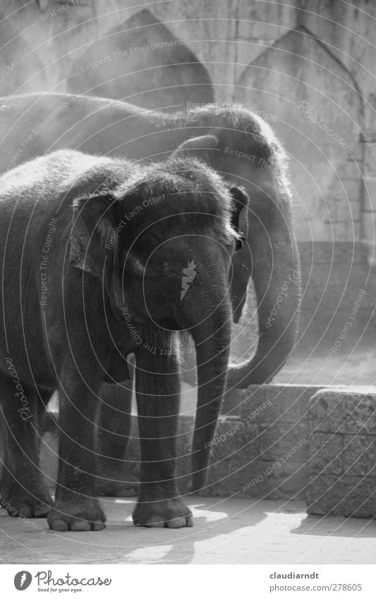 Animal Calm Gray Together Wild animal Large Stand Dry Serene Zoo Exotic Elephant Colossus Majestic Dusty