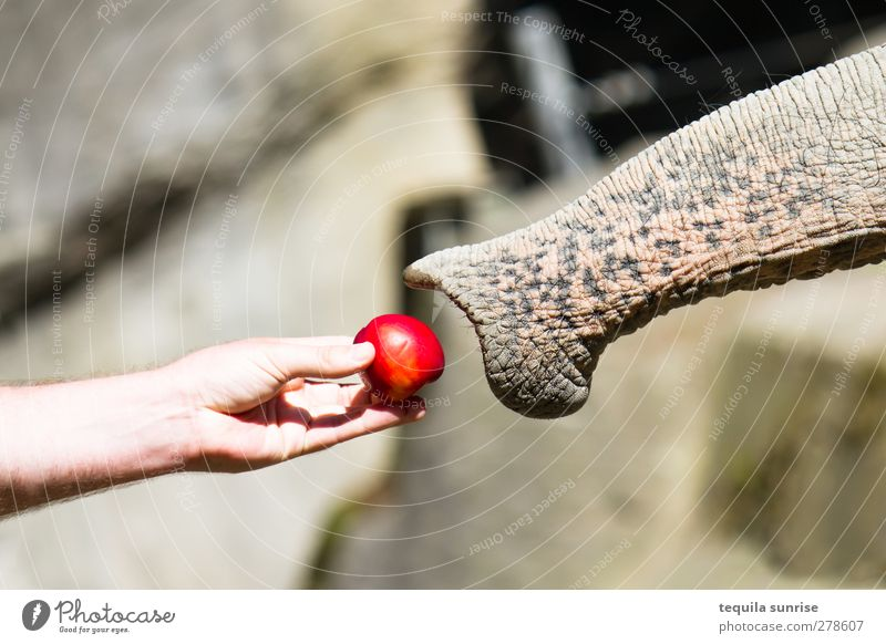 encounter Food Apple Eating Feed Feeding Arm Hand Fingers 1 Human being Animal Wild animal Zoo Trunk Elephant Nose Help Colour photo Exterior shot Day