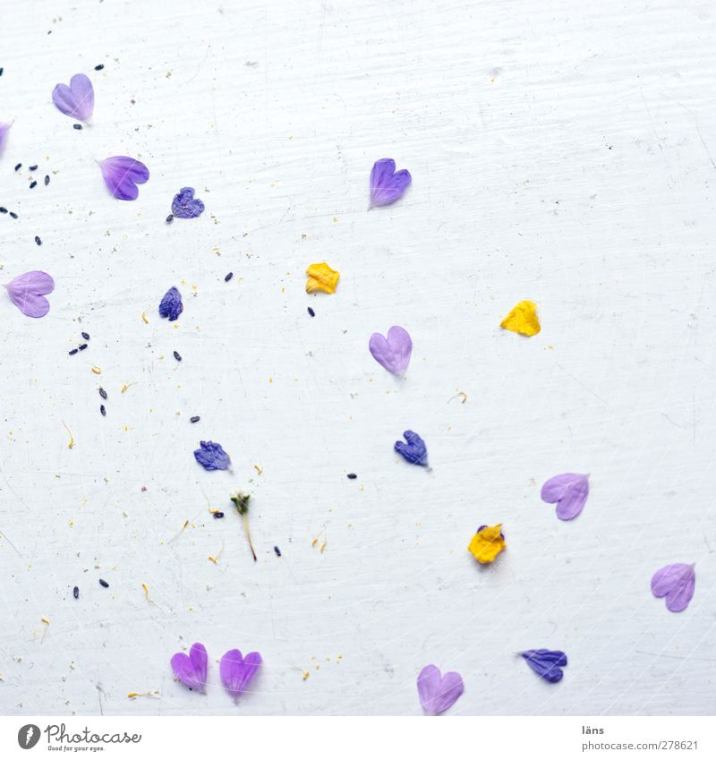 Plant White Yellow Blossom Love Happy Heart Change Violet Infatuation Spring fever Fallen Sincere