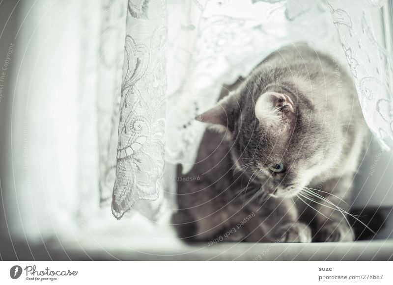 Cat Animal Window Gray Bright Sit Authentic Cute Soft Curiosity Pelt Watchfulness Pet Smooth Curtain Animalistic