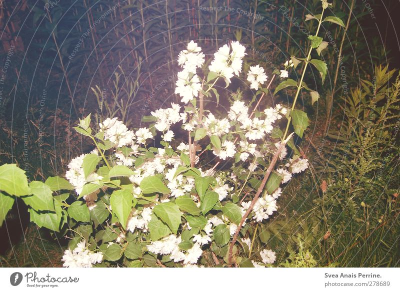 at night. Environment Plant Beautiful weather Flower Bushes Foliage plant Wild rose Park Meadow Trashy Night Caught by a speed camera Blossom Colour photo