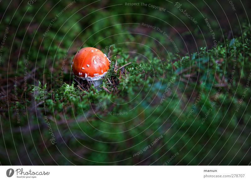 mushroom Nature Autumn Moss Mushroom Amanita mushroom Woodground Forest Growth Small Poison Colour photo Exterior shot Deserted Copy Space right