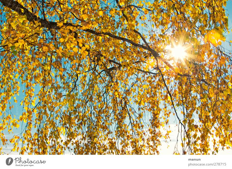 autumn sun Nature Sun Autumn Tree Leaf Birch tree Birch leaves Autumnal Autumnal colours Early fall Autumnal weather Warmth Yellow Gold Turquoise Colour photo
