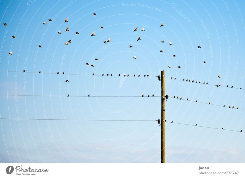 should we stay or should we go? Energy industry Animal Air Sky Beautiful weather Bird Group of animals Flock Flying Sit Blue Nerviness Starling bird troop