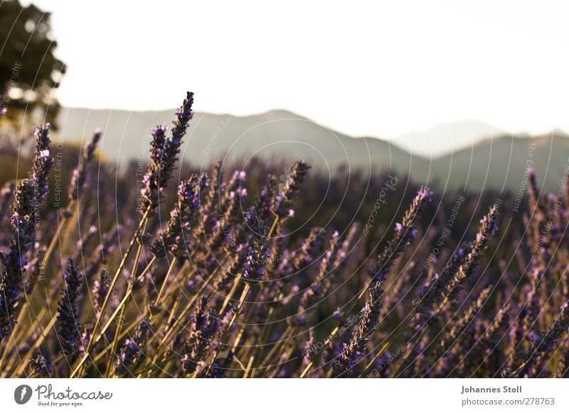 lavender Cycling tour Summer vacation Sun Landscape Plant Bushes Agricultural crop Field Hill Fragrance To enjoy Violet Romance Beautiful Colour Nature Provence