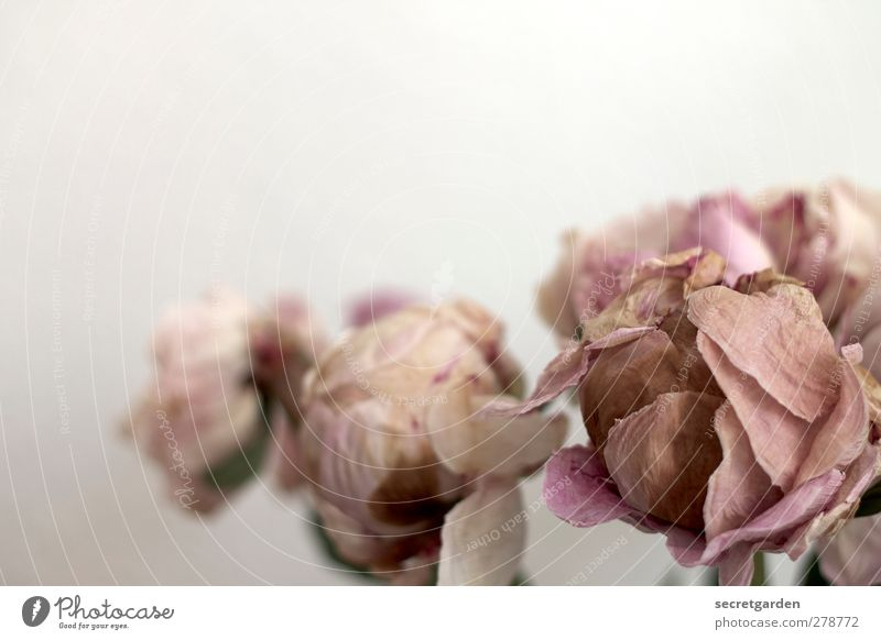 White Plant Death Autumn Brown Pink Rose Destruction Faded To dry up Christmas rose