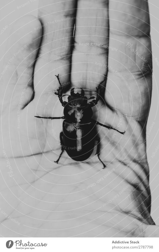 Big beetle on human palm Beetle Palm of the hand Human being Hand Insect Bug Dark Nature wildlife big Natural Conceptual design fauna Skin scarabaeus Fingers