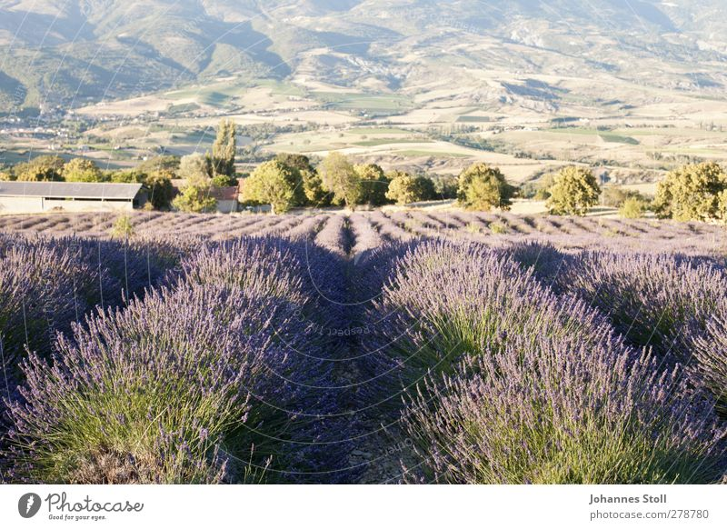 lavender field Herbs and spices Summer vacation Nature Landscape Plant Beautiful weather Bushes Agricultural crop Field Mountain Fragrance To enjoy Faded Violet