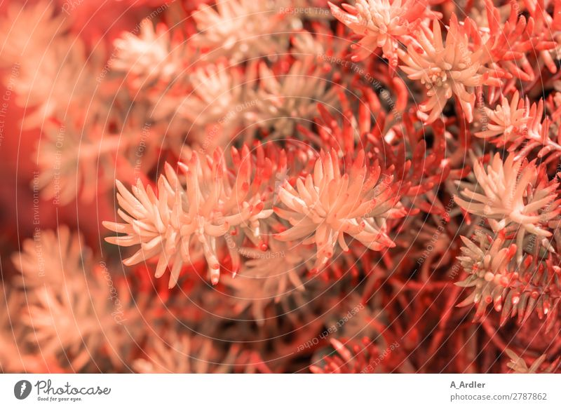 Sedum in Coral Garden Nature Plant Spring Summer Meadow Exotic Modern Point Thorny Orange Uniqueness Growth Botany coral Red Pink Colour photo Exterior shot