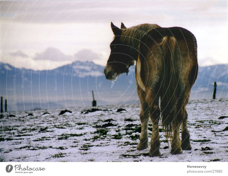 Blue Mountains Horse Panorama (View) Longing Bavaria Winter Alps Evening Large