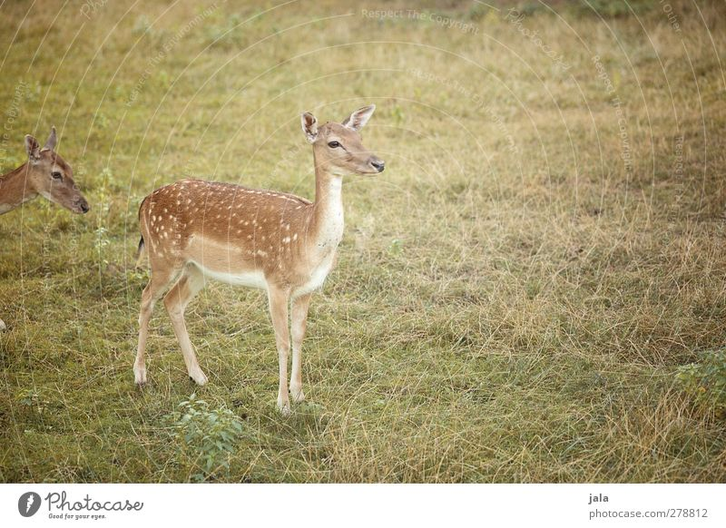 Nature Green Plant Animal Landscape Meadow Grass Brown Natural Wild animal Roe deer Hind