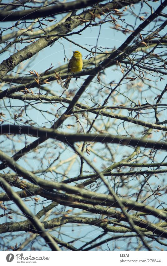 girlish Plant Animal Spring Tree Treetop Branch Twig Bud Wild animal Bird Serin 1 Blue Brown Yellow Colour photo Exterior shot Deserted Day