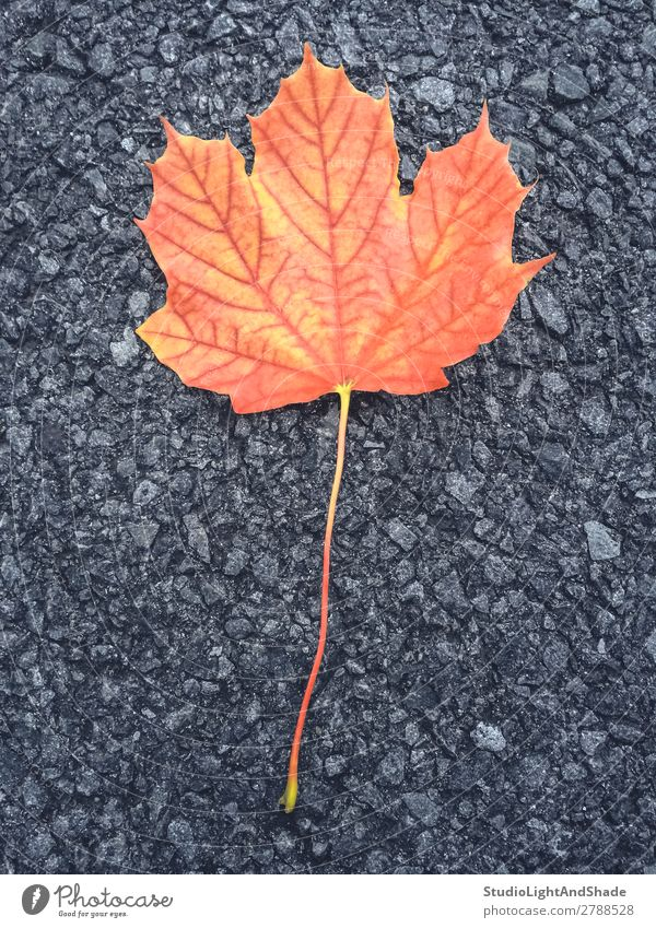 Colorful maple leaf Beautiful Nature Autumn Leaf Rock Town Street Stone Dark Bright Yellow Gray Red Black Colour Asphalt fall Fallen colorful colourful orange