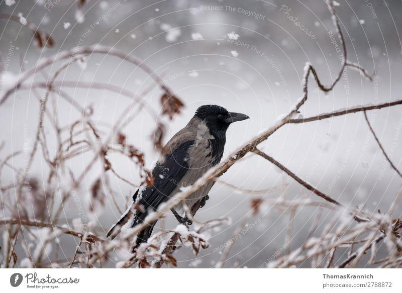 Crow in the snow Winter Weather Snowfall Animal Wild animal Bird Carrion crow 1 Sit Calm Esthetic Middle Raven birds Colour photo Exterior shot Copy Space left