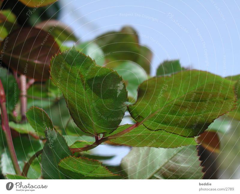 rose petals Leaf Rose Stalk
