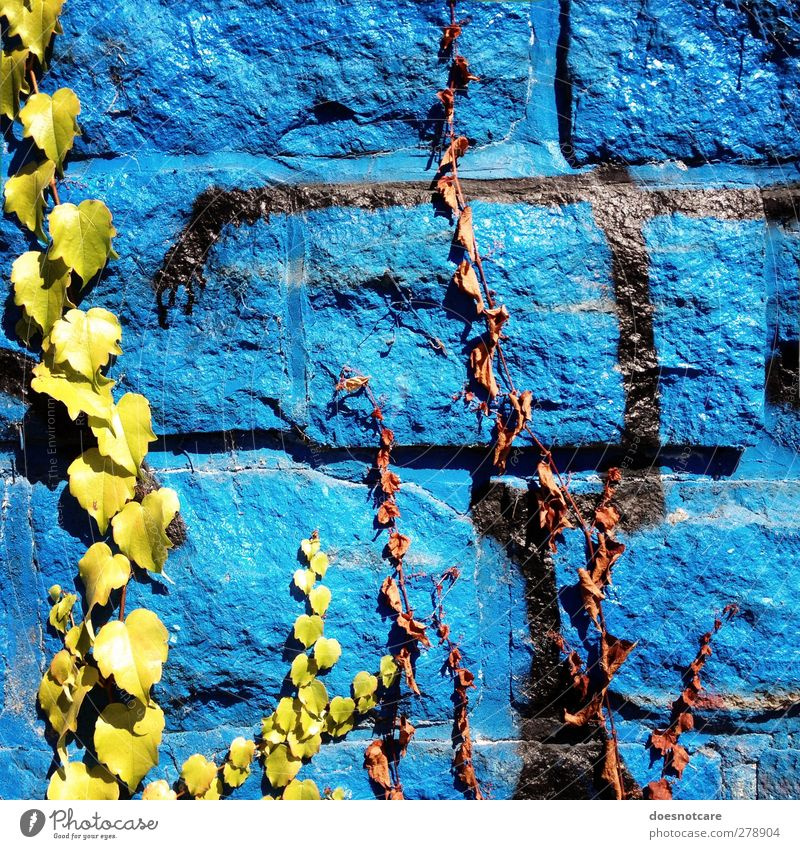 Blue graffiti on ivy grown wall Environment Wall (building) Graffiti Wall (barrier) Wall plant Ivy Creeper Plant Town Limp green Colour photo Multicoloured