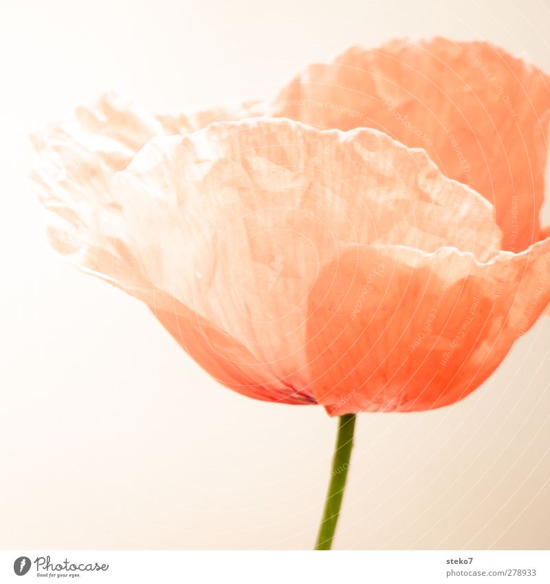 not crease-resistant Blossom Poppy blossom Green Orange Red Fragile Stalk Wrinkled Delicate Subdued colour Exterior shot Detail Deserted Isolated Image