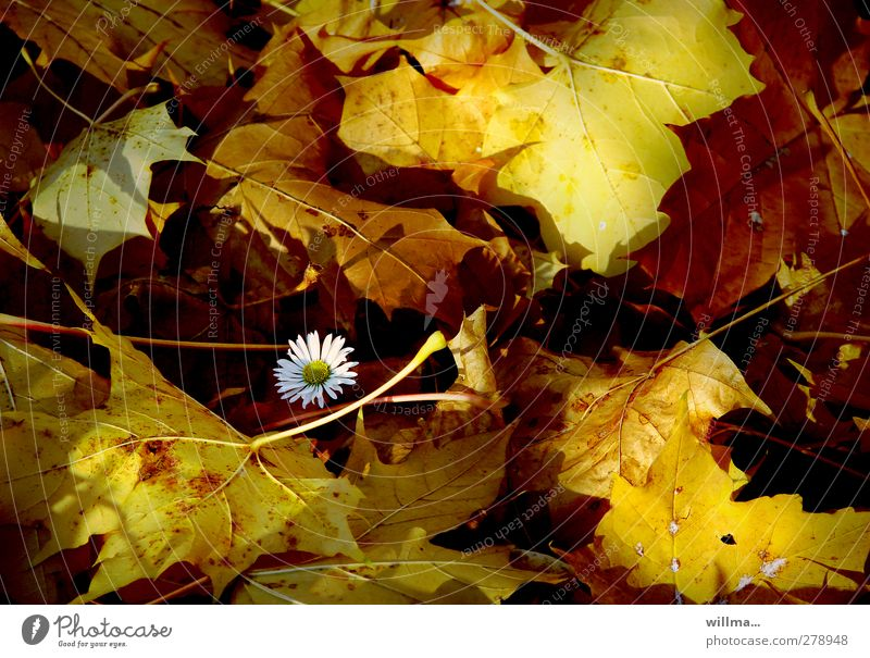 Nature Plant Leaf Autumn Beautiful weather Individual Protection Blossoming Daisy Autumn leaves Safety (feeling of) Autumnal colours