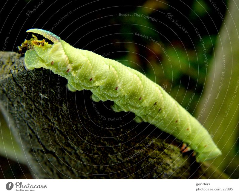 Green Butterfly Antlers Caterpillar Larva