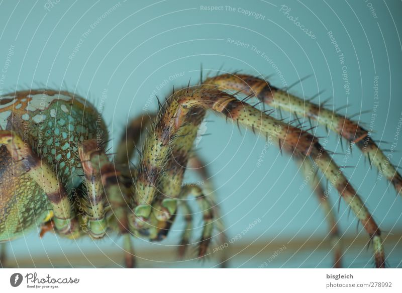 spider Animal Spider 1 Crouch Crawl Walking Stand Threat Disgust Large Brown Green Turquoise Colour photo Interior shot Deserted Copy Space top Artificial light