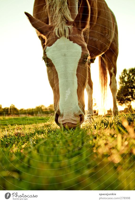 Nature Summer Animal Landscape Yellow Environment Meadow Grass Brown Field Beautiful weather Warm-heartedness Horse Athletic To feed Farm animal