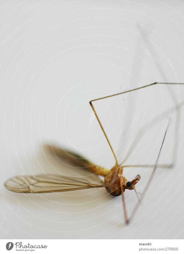 heat death Animal Dead animal Fly 1 Brown Death Crane fly Wing Legs Insect Disgust Colour photo Interior shot Close-up Detail Macro (Extreme close-up)