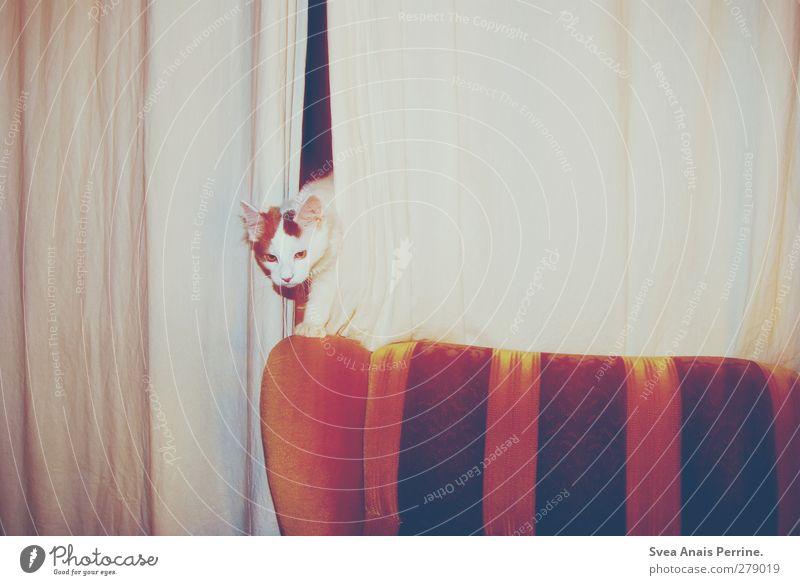 retro tiger. Sofa Chair back Curtain Drape Animal Pet Cat 1 Observe Retro Curiosity Night Colour photo Subdued colour Interior shot Flash photo