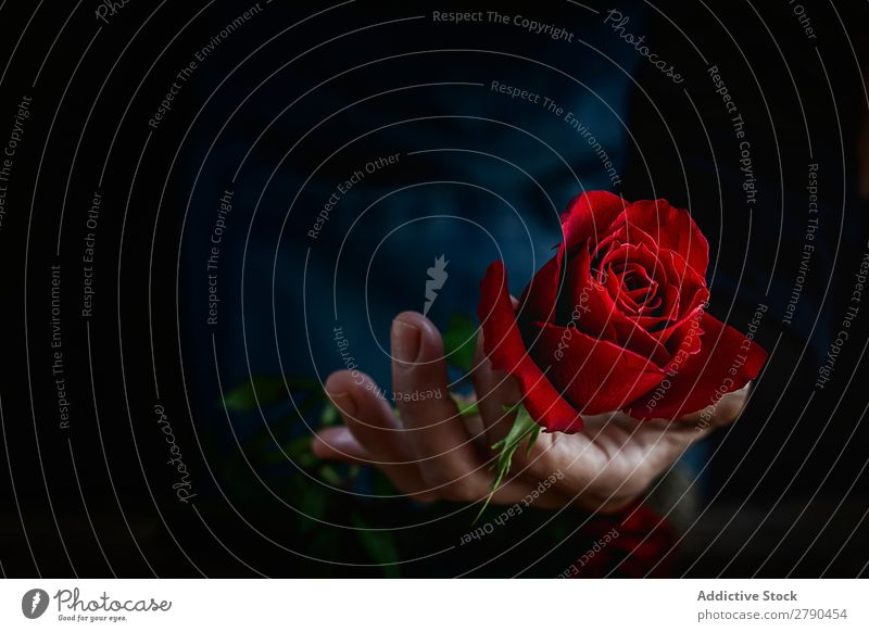 Unrecognizable woman making a bouquet of red roses Hand Rose Flower Woman Background picture Dark Card Blossom leave Red valentine Anniversary