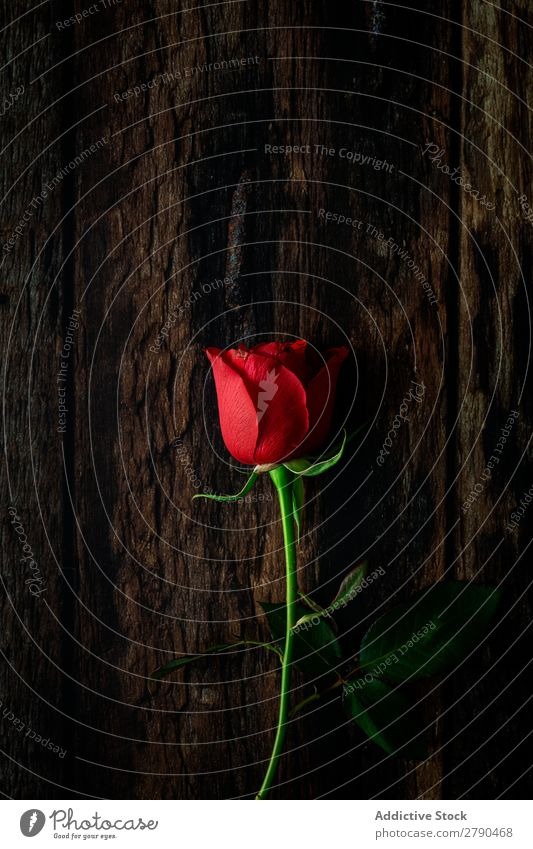 red roses with dark background Pink Rose Flower Dry Background picture Dark Card Blossom leave Red valentine Anniversary Feasts & Celebrations Love Romance