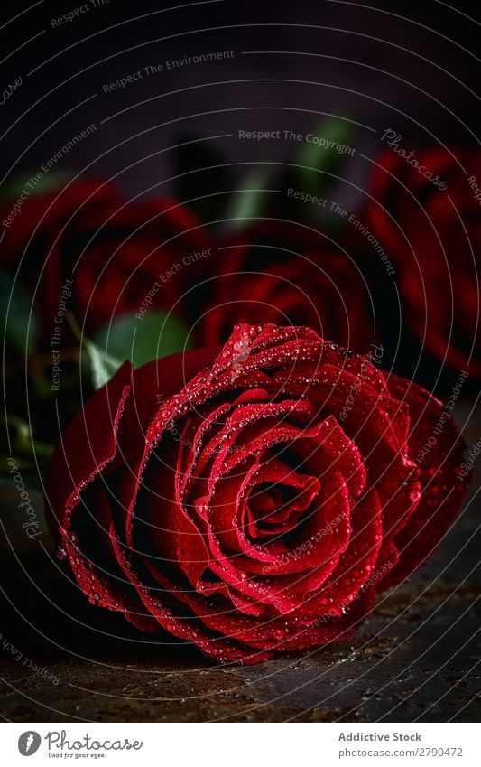 Red roses with dark background Pink Rose Flower Background picture Dark Card Blossom leave valentine Anniversary Feasts & Celebrations Love Romance Natural