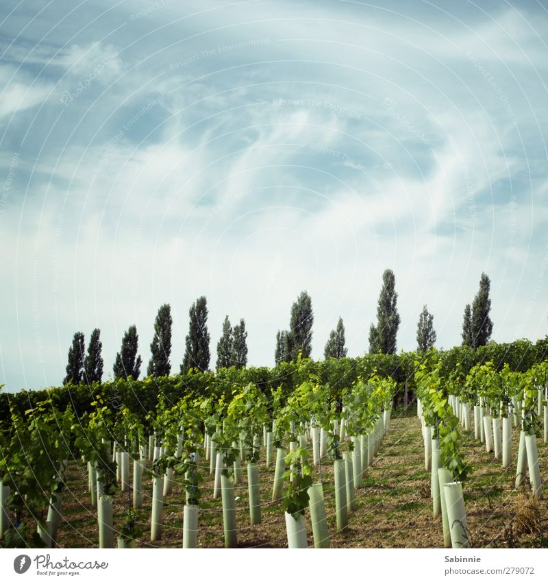 Franconian vineyard #02 Environment Nature Landscape Earth Sky Clouds Sun Summer Climate Beautiful weather Plant Agricultural crop Vine Vineyard Poplar