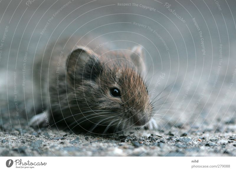 Nature Animal Environment Eyes Gray Small Stone Head Brown Fear Wild animal Concrete Cute Ear Mouse Interest