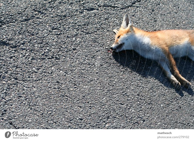 last rest Street Animal Wild animal Dead animal Pelt Paw Fox 1 Elegant Free Cuddly Natural Beautiful Gray Orange White Compassion Sadness Death Fatigue Pain