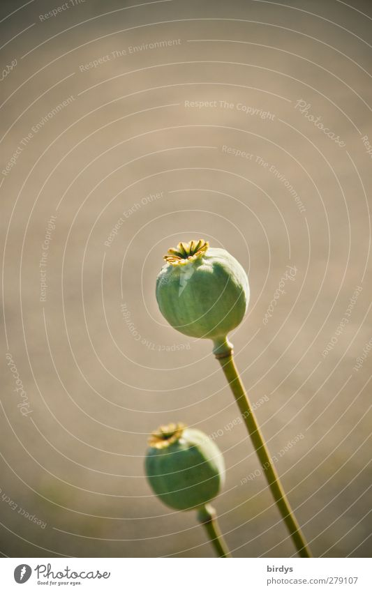 noise balls Summer Plant Opium poppy Seed head Esthetic Authentic Natural Round Gray Green Nature Intoxicant Food Mature 2 Colour photo Subdued colour