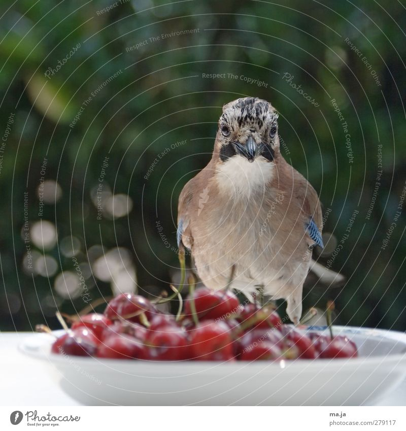 cherry costs Food Fruit Cherry Wild animal Bird Jay 1 Animal Plastic Observe Sit Free Delicious Curiosity Blue Brown Green Red White Colour photo Exterior shot