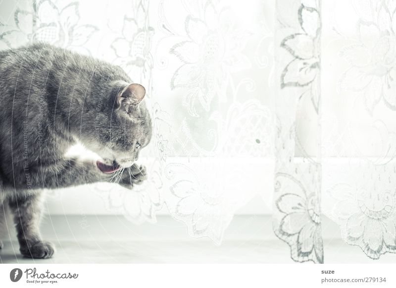 Cat Animal Window Gray Bright Sit Authentic Cute Cleaning Soft Pelt Pet Smooth Paw Curtain Animalistic
