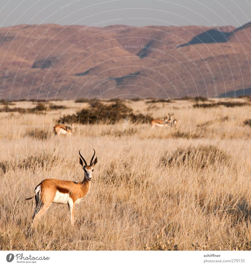 Renewed decorative standing around Environment Nature Landscape Beautiful weather Desert Animal Wild animal Group of animals Herd Pack Stand Gazelle Steppe