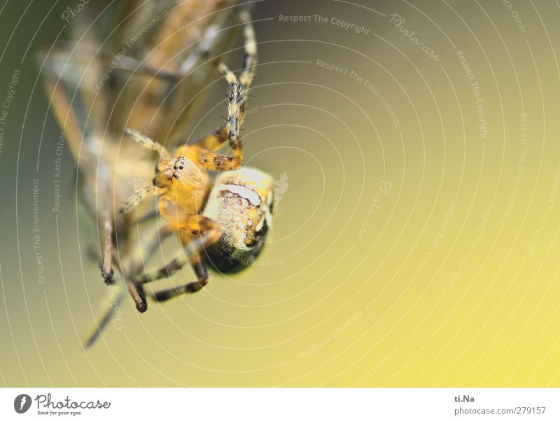 cycle of life Nature Animal Garden Meadow Wild animal Spider Cross spider Crane fly Insect Catch Hunting Disgust Creepy Beautiful Small Feminine Brown Yellow